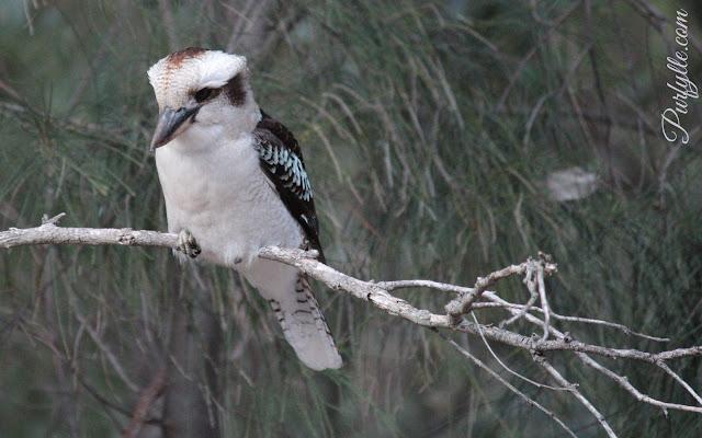 laughing kookaburra sitting in a casuarina tree