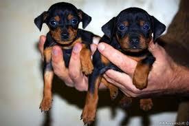 Come fare soldi allevando cani: i Pinscher