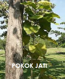 Anim Agro Technology Pokok Kayu Jati Part 1