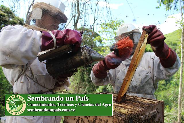 apicultores cosechando miel