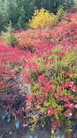 Alpine blueberries turn color in the Fall