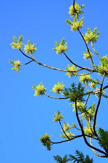 flowering tree Costa Rica