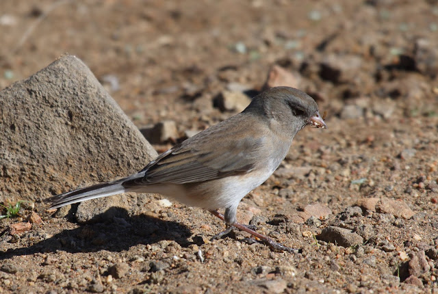 Female Slate-colored Junco