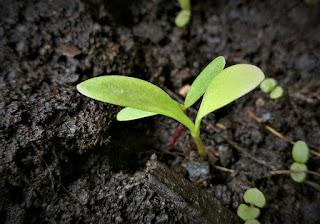 https://pixabay.com/en/scion-seedling-germ-leaves-plant-2735924/