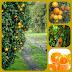 Где выращивают апельсины