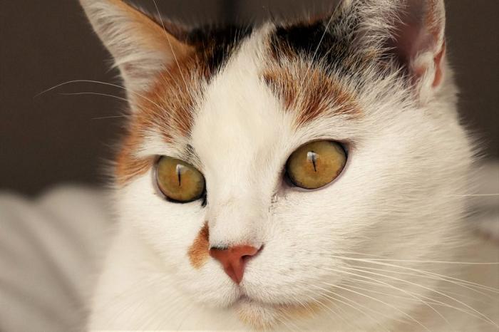 Ringworm Symptoms in Cats