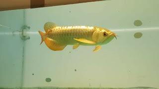 Ikan Arwana 24k