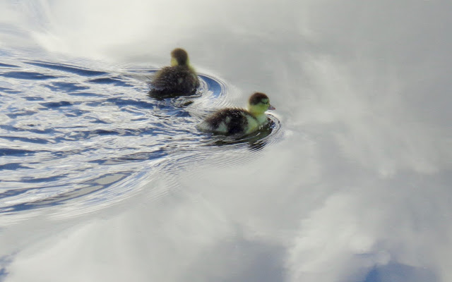 Muscovy Duck Chicks (Cairina Moschata) Swimming