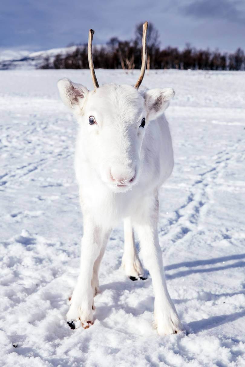 Rare white Fawn in the mountains of Norway | Mads Nordsveen