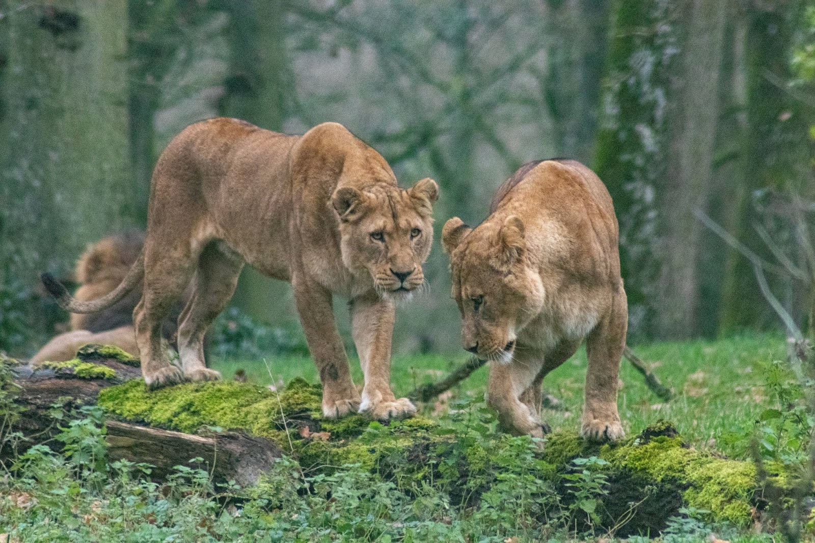 brown lioness on green grass during daytime,lion images
