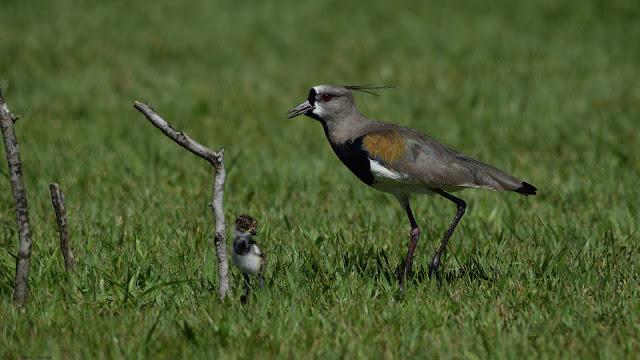 026_Southern Lapwing Vanellus chilensis lampronotus Quero-quero Queltehue