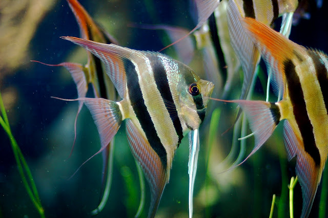 A group of Pterophyllum altum