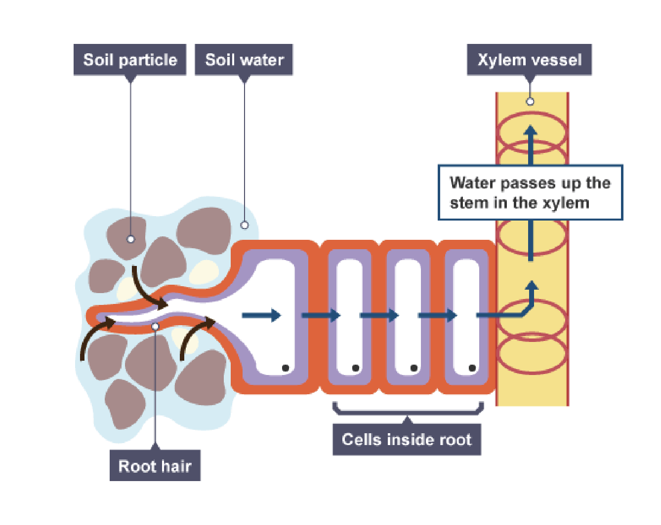 IGCSE Biology 2017: 2.54: Describe the Xylem in ...