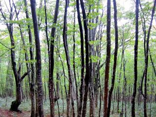 ブナの森02