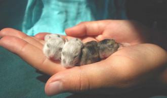 8 Cara Merawat Bayi Hamster Dari Lahir Agar Tak Mati [Lengkap]
