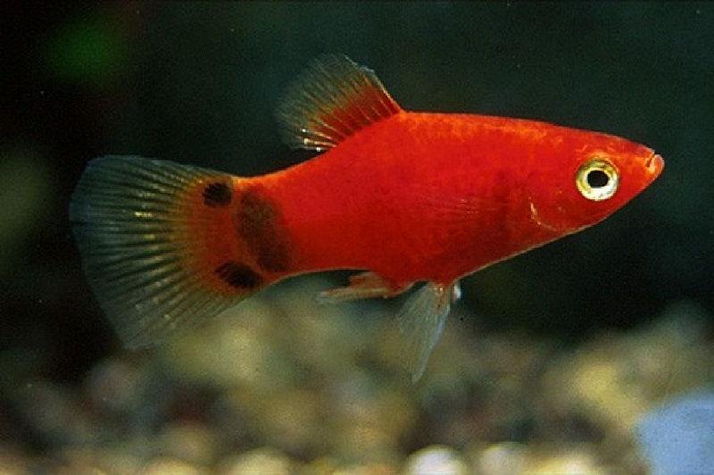 Gambar Ikan Platy - Teman Ikan Guppy