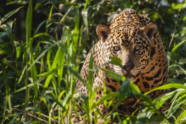 Fakta Jaguar yang Menarik