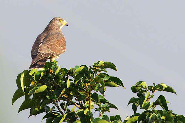 Grey-faced Buzzard Eagle in a tree