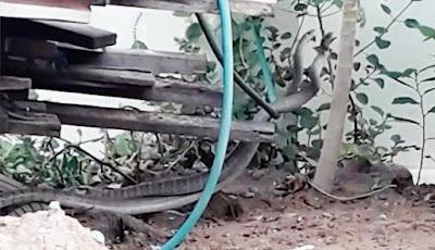 Dua ular tikus saling melilit satu dengan lainnya