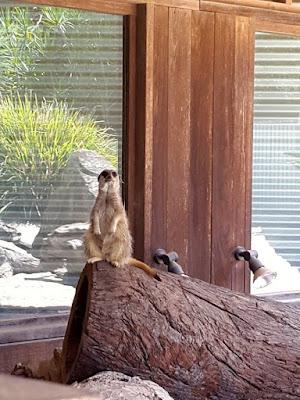 Meerkat at Symbio Wildlife Park Sydney