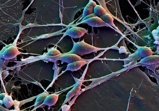 Scoperta una differenza cruciale nelle cellule del cervello umano