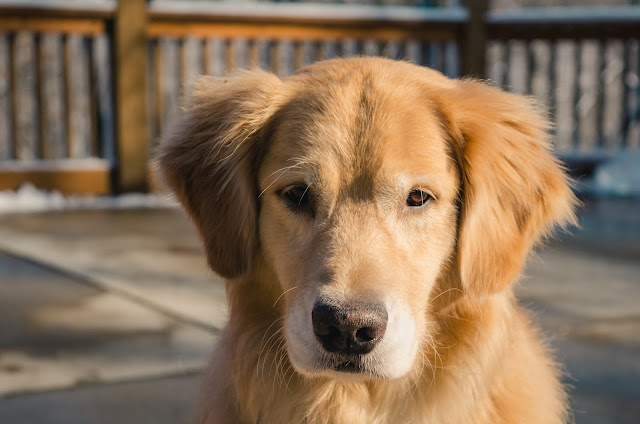 golden retriever temperment