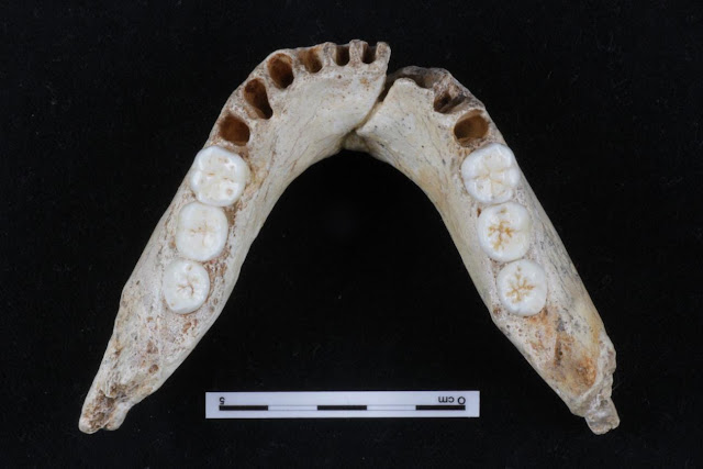 New study of molar size regulation in hominins