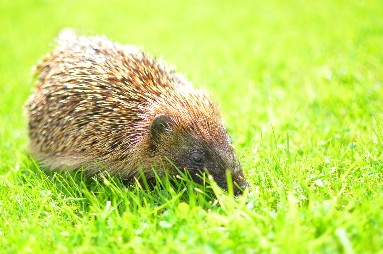 Hedgehog in Drummond Castle Scotland