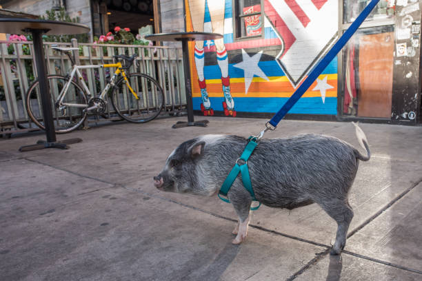 Pot Bellied Pigs – Some Facts About Them