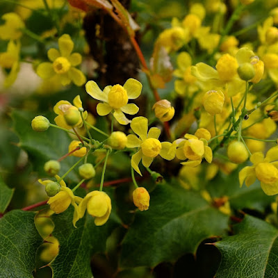 Berberis aquifolium 'Golden Abundance': photo by Cliff Hutson