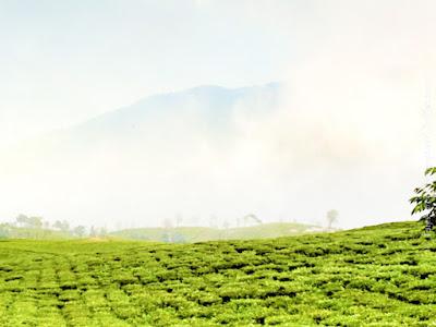 temi tea garden sikkim ravangla