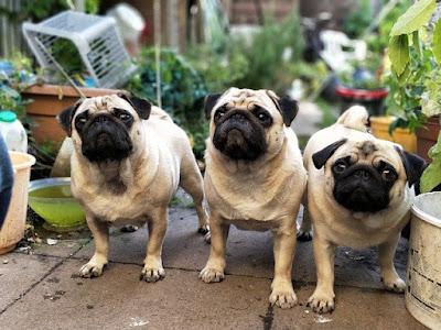 Pugs enjoy company
