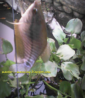 Memancing Ikan Sepat dan Betok