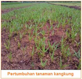 Pertumbuhan tanaman kangkung - Contoh Tahapan Budi Daya Tanaman Sayuran