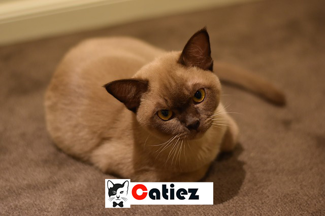 Burmese Cat - all you want to know about Burmese Cats