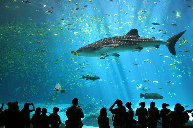 whale shark in aquarium