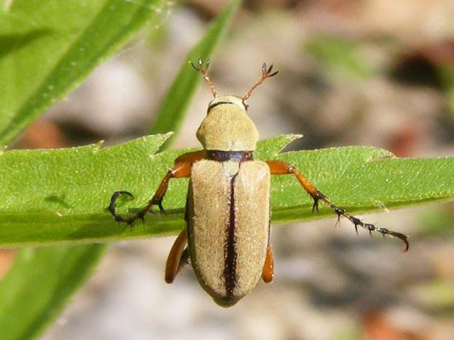 scarabée pour traiter les allergies