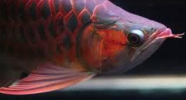 Cara Memilih Ikan Arwana Super Red Anakan Yang Bagus