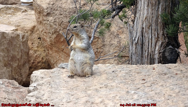 Rock squirrel Grand Canyon