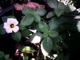 Tahukah Anda khasiat Herbal Sidaguri ? Baca Disini