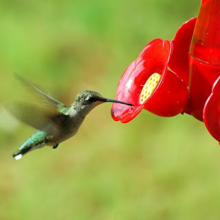 Hummingbirds need to eat every 10 minutes. Make sure you feed them the right stuff.