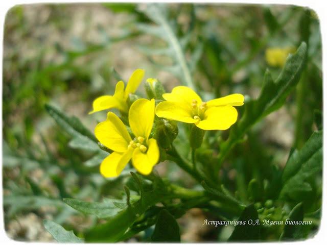zagadki-pro-vesennie-cvety-podsnezhniki-horispora-sibirskaya