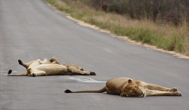A funny picture of lions sleeping on the tarmac.