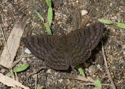 Mariposa acróbata morena (Emesis ocypore)