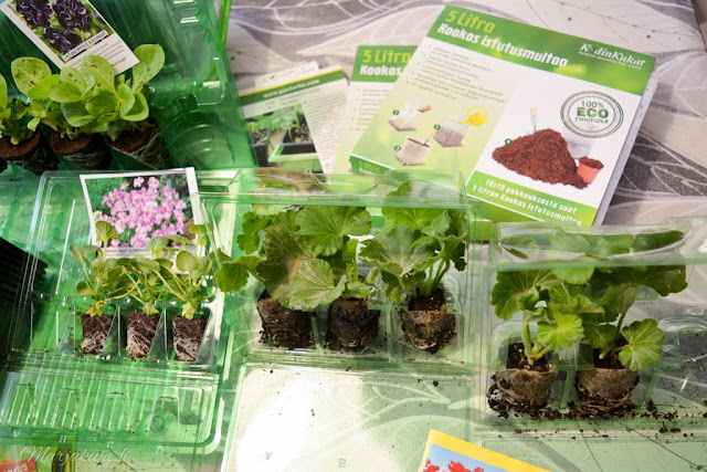 esikasvateut taimet