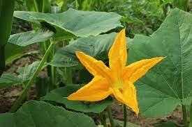 नहीं जानते होगे आप कद्दू के फूल से होने वाले ये चमत्कारी फायदे