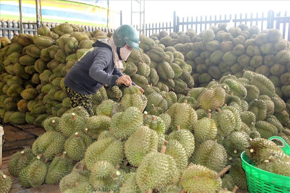 Chỉ riêng 2 tỉnh Đắk Nông, Đắk Lắk mùa vụ năm nay có tổng sản lượng trên 120.000 tấn sầu riêng.