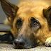 ΑΠΟ ΜΥΣΤΗΡΙΩΔΗ ασθένεια έχασαν την ζωή τους 26 σκύλοι...