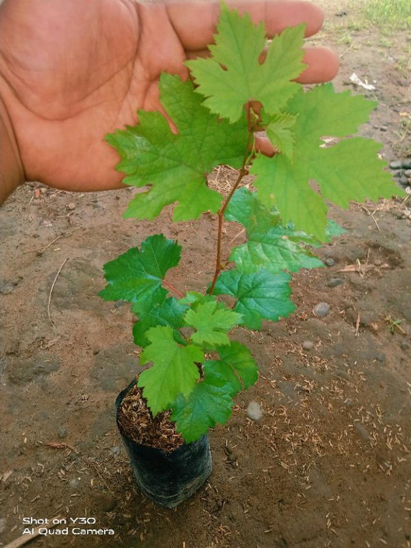 Buruan Borong! bibit anggur import ninel Kota Malang #Jual bibit buah