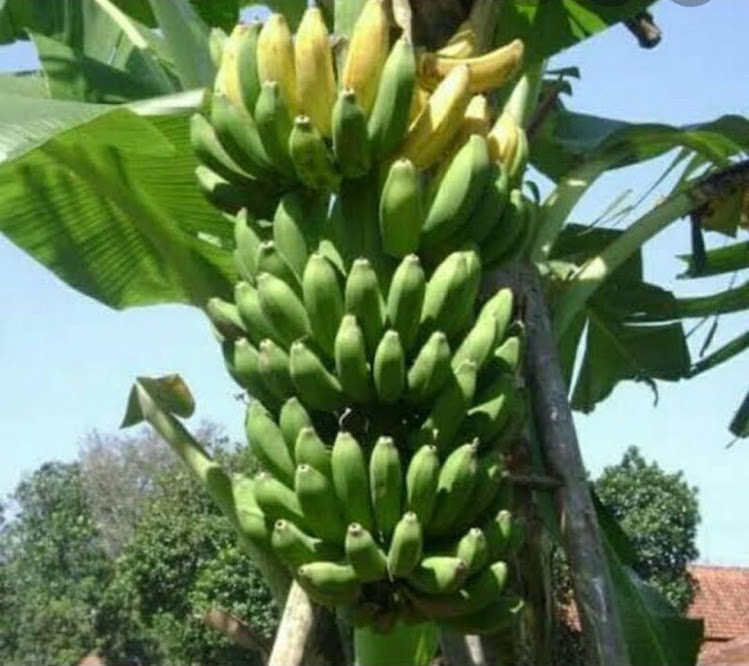 bibit Pohon Pisang Raja Sereh Jawa Barat